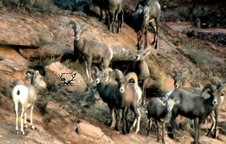 bighorn sheep hunting